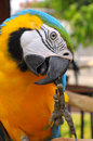 Blue and gold macaw a bird with feathers in colors yellow some may look to go with that has another name called Stock Images