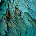 Blue and Gold Macaw feathers Royalty Free Stock Photo