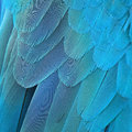 Blue and gold macaw feathers colorful bird background Stock Image