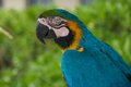 Blue and gold macaw it is a large south american parrot with top parts yellow under parts Stock Images