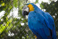 Blue and gold macaw parrot Royalty Free Stock Images