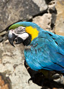 Blue and Gold Macaw Parrot Royalty Free Stock Photos