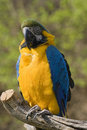 Blue and gold macaw parrot Stock Images