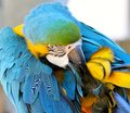 Blue and gold macaw preening this photo was taken in june in south africa a its feathers Stock Images
