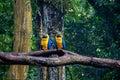 Blue and Gold Macaws at Parque das Aves - Foz do Iguacu, Parana, Brazil Royalty Free Stock Photo