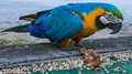 Blue-gold yellow feathers big macaw parrot Royalty Free Stock Photo