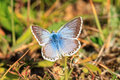 Blue gossamer winged butterfly picture of a in the morning Royalty Free Stock Images