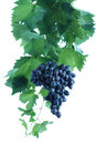 Blue grape cluster with leaves and vine Royalty Free Stock Photo