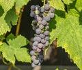 Blue grape cluster on vine closeup photo Royalty Free Stock Photo