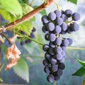 Blue grape cluster, vine and leaves Royalty Free Stock Photo