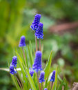 Blue Grape Hyacinth Muscari armeniacum flower in bloom Royalty Free Stock Photo
