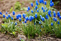 Blue Grape Hyacinth Muscari armeniacum flower in bloom spring Royalty Free Stock Photo