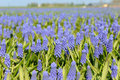 Blue grape hyacinths Stock Photo