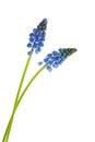 Blue grape hyacinths Royalty Free Stock Photo