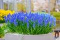Blue Grape Hyacinths In Keuken...