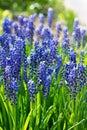 Blue grape hyacinths, muscari flowers Royalty Free Stock Photo