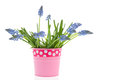 Blue grape hyacinths in pink vase Royalty Free Stock Photo