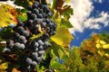 Blue grapes with sky in autumn season Stock Photography