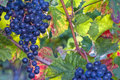 Blue grapes in sunlight Stock Image