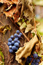Blue grapes on a vine, closeup Royalty Free Stock Photography