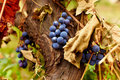 Blue grapes on a vine, closeup Royalty Free Stock Image