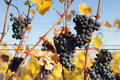 Blue grapes with yellow leaves ripe in autumn Stock Photos