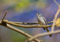 Blue-gray Gnatcatcher Stock Photos
