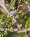 Blue gray gnatcatcher on a branch the polioptila caerulea is very small songbird with distribution reaching from the caribbean to Royalty Free Stock Images