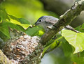 Blue-gray Gnatcatcher feeding nestlings Royalty Free Stock Photos