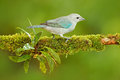 Blue-gray Tanager, exotic tropic blue bird from Costa Rica. Bird sitting on beautiful green moss branch. Birdwatching in South Ame Royalty Free Stock Photo
