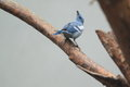 Blue gray tanager the sitting on the branch Stock Images
