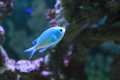 Blue-green chromis Royalty Free Stock Photo