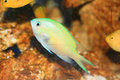 Blue green chromis Royalty Free Stock Photo