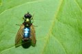 Blue green fly on leaf sits in the sun a Stock Photography