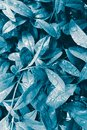 Blue green leaves with raindrops, surreal inspiration nature pastel background Royalty Free Stock Photo