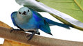 Blue-grey Tanager 02 Royalty Free Stock Image
