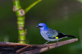 Blue grey tanager beautiful portrait of a in the rainforest of belize Stock Photos