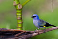 Blue grey tanager beautiful portrait of a in the rainforest of belize Royalty Free Stock Image