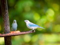 The blue grey tanager thraupis episcopus in tortuguero np cos costa rica Stock Photo