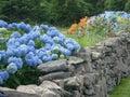 Blue Hdrangea and Summer Garden along Rock Wall Royalty Free Stock Photo