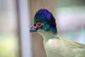 Blue head red eye bird close up image of an exotic with a and green a white and purple body and a Royalty Free Stock Photo