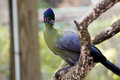 Blue head red eye bird exotic with a and green a white and purple body and a perched in a tree Stock Images