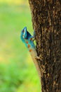 Blue head tree lizard the local of thailand Stock Images