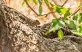 Blue-headed Agama basking on tree Royalty Free Stock Photo