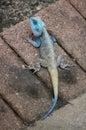 Blue headed Agama (koggelmander) Royalty Free Stock Photo