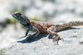 Blue-headed agama lizard Royalty Free Stock Photo
