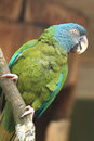 Blue headed macaw Royalty Free Stock Photo