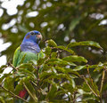 The Blue-headed Parrot´s look Royalty Free Stock Photo