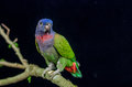 Blue headed parrot sitting on a branch Royalty Free Stock Photo