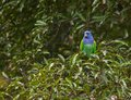 A Blue-headed Parrot under the rain Stock Photos